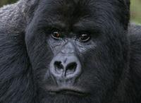 rwanda-gorilla-2